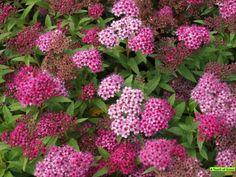 Spiraea japonica `Anthony Waterer`- Spierstruik