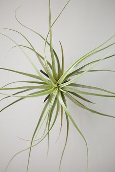 Get this look for airplants with this great tool...link embedded at VF11 Blog