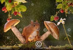 Wet red squirrel with mushrooms and raspberries in rain Bispgarden, Jamtland, Sweden Red Squirrel, Picture Video, Cute Pictures, Puppies, Raspberries, Mushrooms, Sweden, Rain, Animals