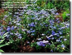 Full size picture of Hardy Ageratum, Blue Mistflower (Conoclinium coelestinum)