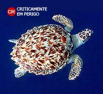 Tartaruga de Pente. Eretmochelys imbricata. Zona Costeira. Instituto Chico Mendes de Conservação da Biodiversidade - Destaque - Tartaruga de Pente