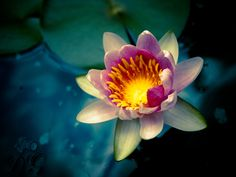 Water Lily #flower #waterlily #lily