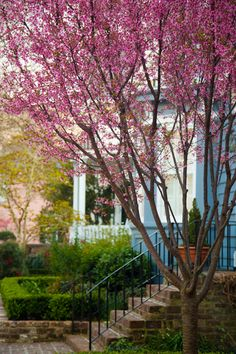 hueandeyephotography:  Cherry Tree in the Spring, Charleston, SC © Doug Hickok  All Rights Reserved More here… hue and eye