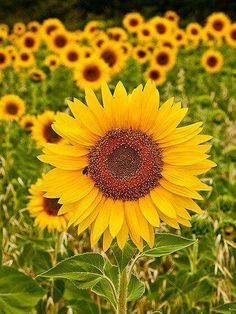 Field of beautiful Sunflowers!  :)