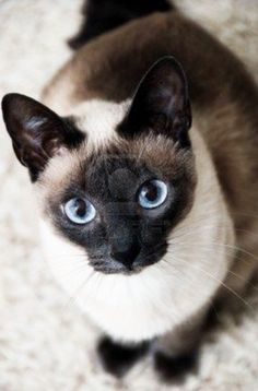 Gorgeous Siamese cat with those classic blue eyes. - Siamese Cat - Ideas of Siamese Cat - Gorgeous Siamese cat with those classic blue eyes. The post Gorgeous Siamese cat with those classic blue eyes. appeared first on Cat Gig. Pretty Cats, Beautiful Cats, Animals Beautiful, Cute Animals, Gorgeous Eyes, Pretty Kitty, Stunningly Beautiful, Wild Animals, Baby Animals