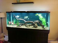 How an Oscar tank SHOULD be set up. Ours is barren, but driftwood is so expensive!