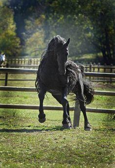 世界一イケメンと称えられる馬。フリージアン・ホースの最高峰、ザ・グレート・フレデリック(アメリカ) : カラパイア
