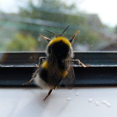 Oh my gosh, it's a dancing bee! #bees #bumblebees #dance