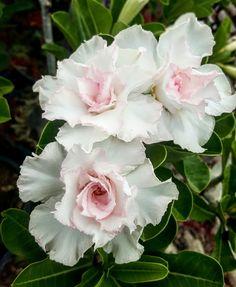 New Rosy Adenium