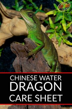 Chinese Water Dragon Care Sheet. Everything you need to know for housing and caring for your pet water dragon. Create the perfect habitat with this guide. Water Dragon Pet, Chinese Water Dragon, Reptile Room, Cute Reptiles, Flea Treatment, Secret Life Of Pets, Outdoor Dog, Pet Care, Care Care