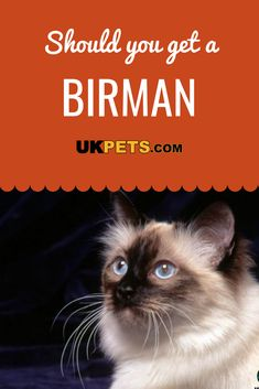 The Birman cat temperament is calm, sweet, and well-mannered. It is easy to handle and loves attention. As such, it is a popular feline among cat fanciers in various parts of the planet. Different Types Of Cats, Kinds Of Cats, Lots Of Cats, Types Of Cats Breeds, Cat Breeds, Why Do Cats Purr, Cute Cats, Birma Cat, Calming Cat