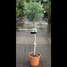 Olivier tige plante hauteur 120/140 cm pot de 15L 120/140 cm Olivier En Pot, Chlorophytum, Plants, Spider Plants, Plant Stem, Plant, Planets