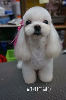 Dog Grooming Styles, Grooming Salon, Pet Grooming, Creative Grooming, Dog Haircuts, Puppy Cut, Puppies And Kitties, Maltese Dogs, Baby Dogs