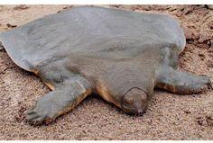 Tortuga de caparazón blando se encuentr únicamente en asia y pertenece a la familia trionychidae. hoy en día, solo quedan 4 ejemplares en cautiverio y tristemente, enfrenta una inminente desaparición de la especie.
