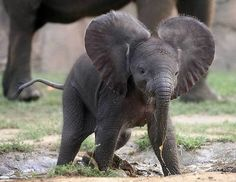 I love baby African elephants! I would like to raise one myself.