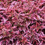 Coleus- sun-loving w/edged leaf, shade annual.