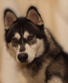 Wonderful All About The Siberian Husky Ideas. Prodigious All About The Siberian Husky Ideas. Alaskan Husky, Siberian Husky Dog, Alaskan Malamute, Husky Mix, Husky Puppy, Husky Breeds, Dog Breeds, Husky Facts, Malamute Husky