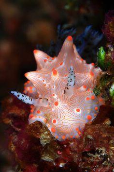 Nudibranch: Halgerda batangas by Eugene Lim on Beautiful Sea Creatures, Deep Sea Creatures, Animals Beautiful, Underwater Sea, Underwater Creatures, Sea Snail, Sea Slug, Water Animals, Tier Fotos
