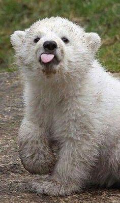 Funny Cute Animals Polar Bears 30 New Ideas Cute Funny Animals, Cute Baby Animals, Animals And Pets, Wild Animals, Baby Polar Bears, Grizzly Bears, Polar Bear Funny, Baby Bear Cub, Funny Baby Pictures