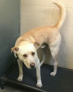 Due out Wednesday (7-29); needs out of the bldg ASAP ▪  No. 575-624-6722 Roswell Animal Control 705 E. McGaffey, #Roswell, #NM 88201▪  ✔ REGGIE ▪ 4-year-old ▪ Lab X ▪ Male ▪ Yellow ▪ Cage #50   Impound #2970 ▪ Intake 7-22-15   Due Out 7-29-15 🔷 LINK: https://m.facebook.com/photo.php?fbid=476584345842901&id=176246809209991&set=pb.176246809209991.-2207520000.1437962554.&source=42 ▪   🔲 MAIN PAGE LINK: https://m.facebook.com/RoswellUrgentAnimalsAtAnimalControl ▪ #urgent #rescue #adopt #foster #save #highkill #help #animals #dogs #pets #paws #share #SaveRoswellDogs
