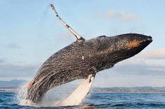 Humpback whale, Open Waters, Marine Mammals, Megaptera novaeangliae at the Monterey Bay Aquarium Berkeley Marina, Monterey Bay Aquarium, North Beach, Humpback Whale, Boat Tours, Open Water, Whale Watching, Large Animals, Golden Gate