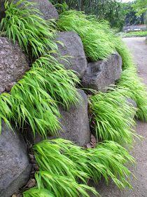 Golden Forest Grass For Impact Ornamental Grasses For Shade, Ornamental Grass Landscape, Landscaping With Rocks, Backyard Landscaping, Outdoor Plants, Outdoor Gardens, Rockery Garden, Cacti Garden, Permaculture