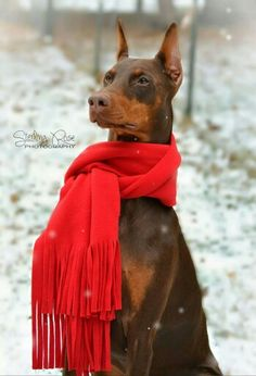 "Click visit site and Check out Cool ""Dobermann"" Shirts. This website is excellent. Tip: You can search ""your name"" or ""your favorite shirts"" at search bar on the top."