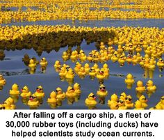 CityPlanningNews.com: Rubber Duckies They fell into the Pacific ocean in...