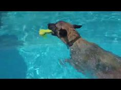 Belgian Malinois K9 Mishka with her obsession of fetch in the pool