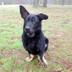 Dudley III is an adoptable Shepherd Dog in Little Rock, AR. Meet Dudley, who is a friendly guy. He loves people, and does well with children and other dogs too. Dudley is so handsome -- perhaps German...