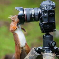 A red Squirrel who  really wants his selfie taken. perhaps he's a little too close though ? | Photography by @simon.phillpotts