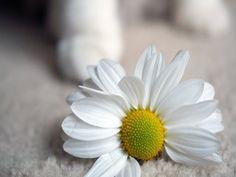 Flower Daisy Petals HD Wallpaper