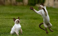 Siamese cats (95 pictures) (5)