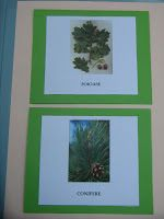 Șotron: Copaci VI. Coniferele (reconstituire)