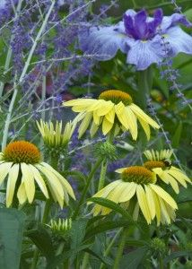 Yellow coneflowers pair well with blue Iris & Russian Sage (Perovskia)