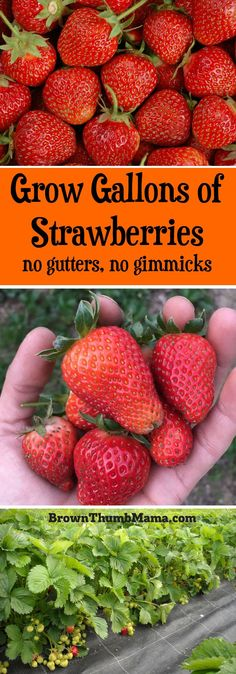 Strawberries are super-easy to grow using these important tips. Here's everything you need to know to grow gallons of #strawberries in your #garden.