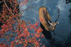 Desvre - ponderation: Deer In Nara Japan von PK. Nature Animals, Animals And Pets, Cute Animals, Amazing Animals, Animals Beautiful, Land Scape, Beautiful Creatures, Animal Photography, Animal Kingdom