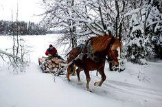 Suomenhevonen/Finnhorse at work