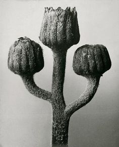 Karl Blossfeldt (1865-1932) botanical fine art photographer -