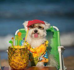 Bichon maltes,Lulú en la playa.