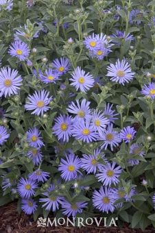 52 best perennialsshowy flowers images on pinterest native plants woods blue new york aster aster novi belgii woods blue mightylinksfo