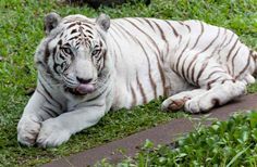 tiger | Pictures of Tigers, Tiger Facts