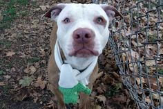 Manhattan Center GREGORY – A1096961  **SAFER : AVERAGE HOME**  MALE, TAN / WHITE, PIT BULL MIX, 2 yrs STRAY – EVALUATE, NO HOLD Reason ABANDON Intake condition EXAM REQ Intake Date 11/15/2016, From NY 10458, DueOut Date 11/18/2016,