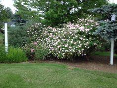 Cecil Brenner Rose in my garden