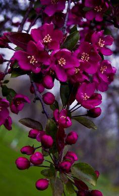 Magenta flowering crab apple