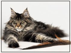 Interested in owning a Maine Coon cat and want to know more about them? We've made this site to tell you all you need to know about Maine Coon Cats as pets Chat Maine Coon, Maine Coon Kittens, Cats And Kittens, Pretty Cats, Beautiful Cats, Pretty Kitty, Crazy Cat Lady, Crazy Cats, Norwegian Forest Cat
