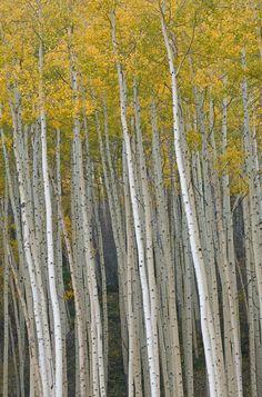 Autumn aspens (Populus tremuloides) near Vail, Colorado, USA
