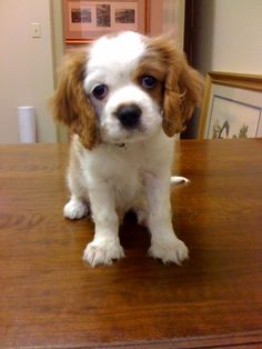 Cavalier King Charles- Everest as a puppy