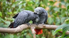 Known the world over for their intellect and loyalty, the African grey parrot is one of the most sought after of the exotic pets. Care should be taken though, as I have worked with these birds and have found that they can be loyal to a fault, if not raised properly. Also, due to their intelligence, they absolutely must be worked with daily and provided the proper stimuli. #Africa #African #Africangreyparrot #bird #egg #feather #fly #grey #greyparrot #intelligent #nest #parrot #talk