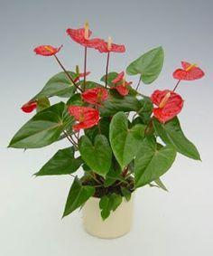 Mirian Decor: Plantas para Banheiro  Antúrio  Forneça luz forte e indireta.  Não deixe o solo secar e nem o deixe encharcado.